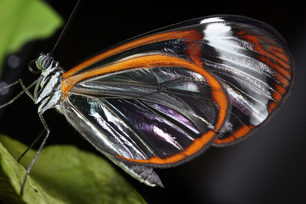 Iridescent wing patterns at certain angles of light on the wings of transparent species