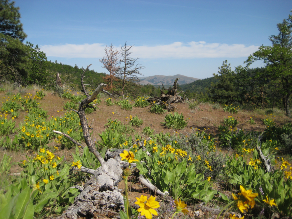 Balsamroot everywhere! Photo by Kim Danielson.