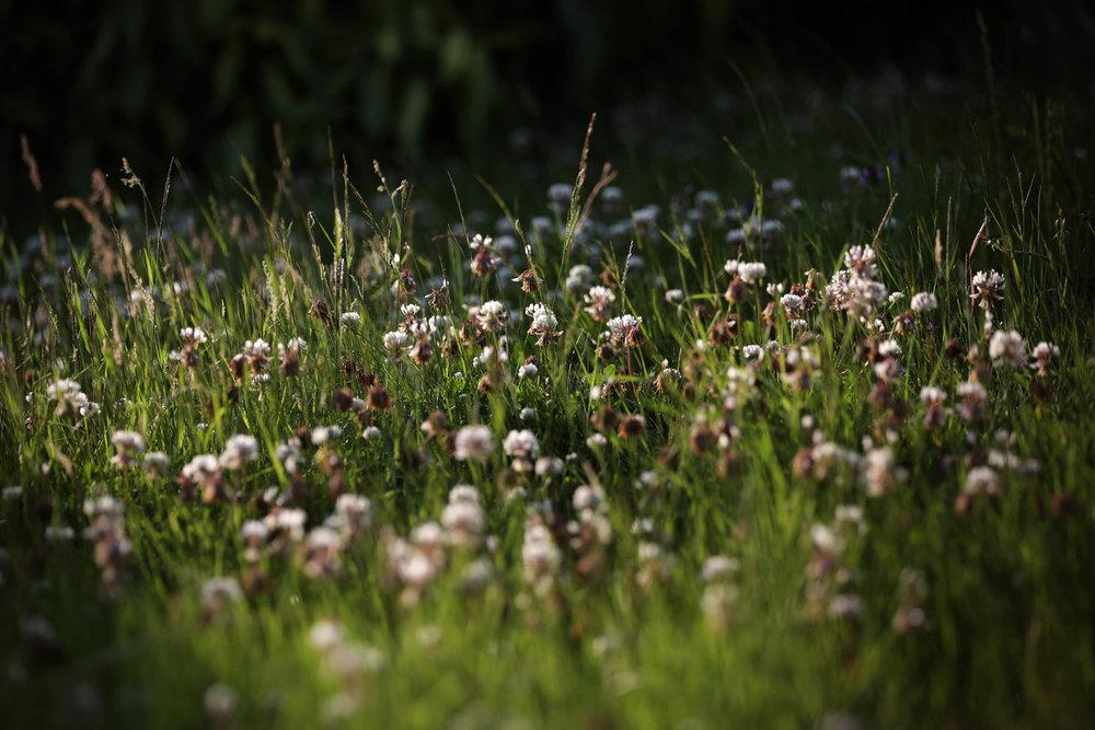 nhf dandelions.jpg