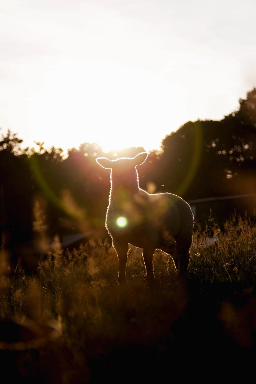 nhf lamb sunburst.jpg