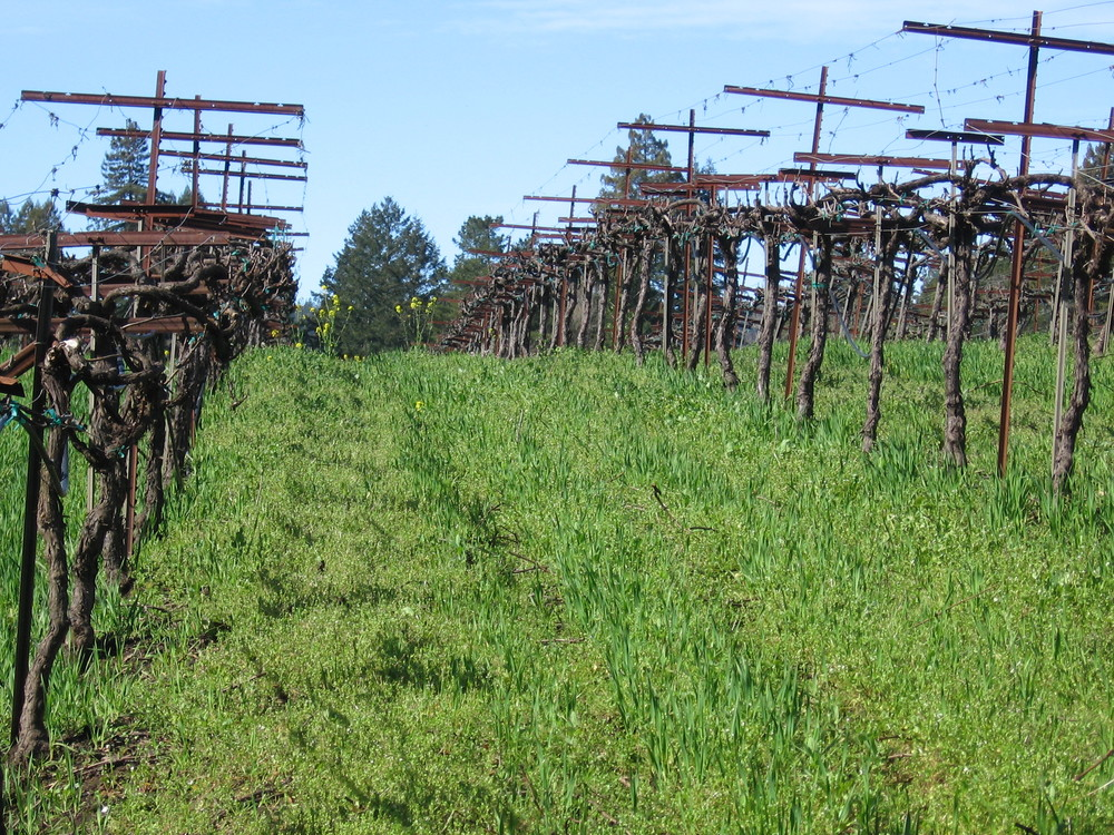 Dormant vines at Heintz copy.JPG