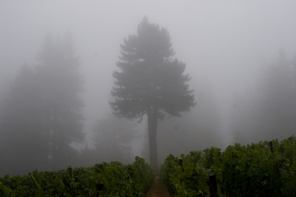 W.E. Bottoms Pinot Noir Vineyard by Kevin of Salinia