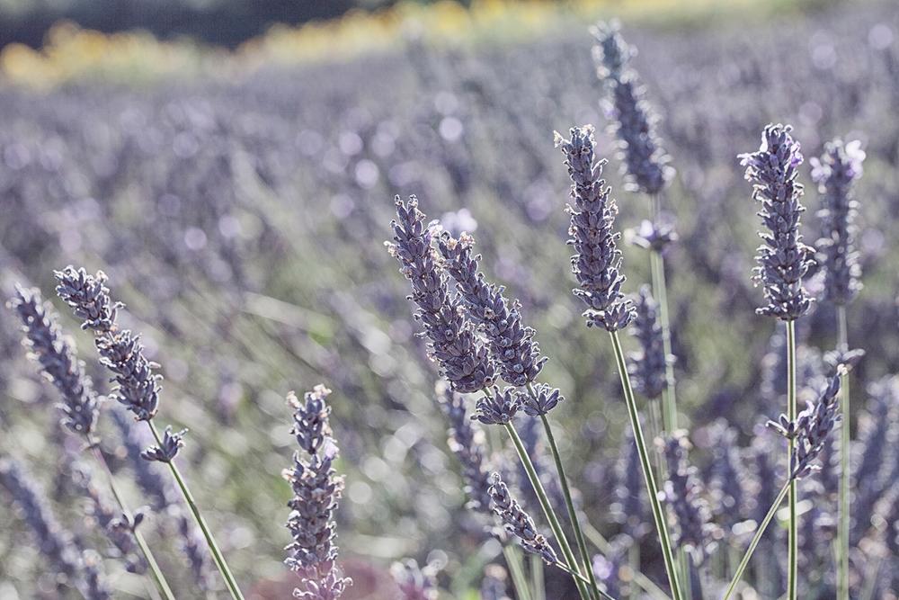 lavenderfield.jpg