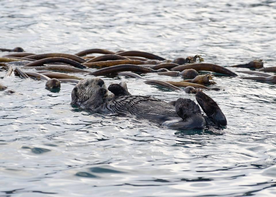 Sea otters.jpg