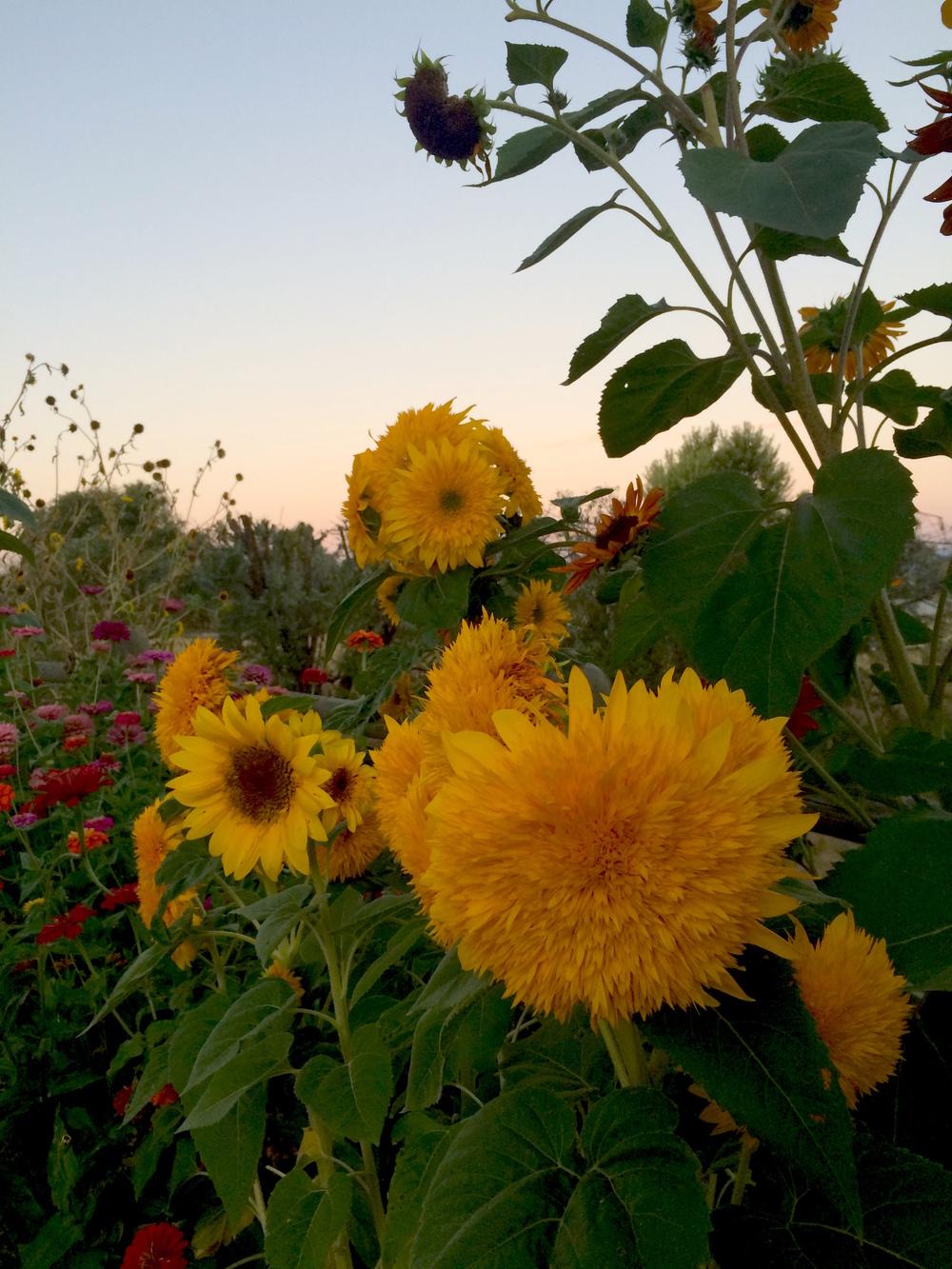 Teddy Bear Sunflowers.JPG