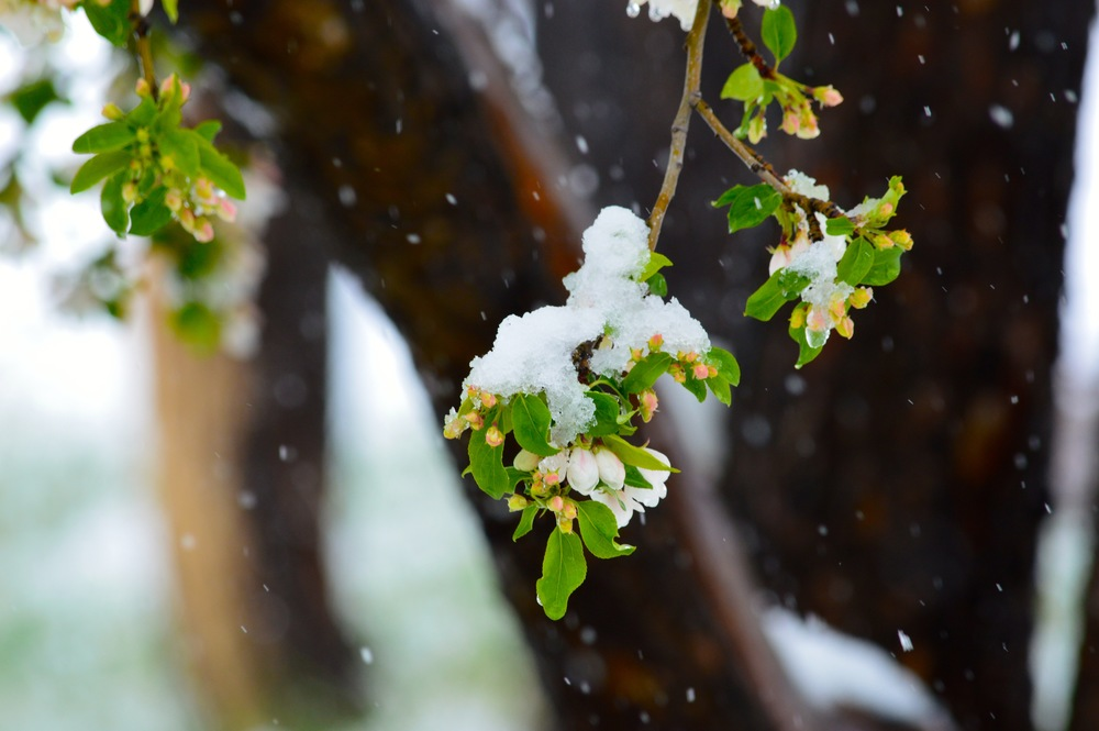 snow on blossom cheri ruskus