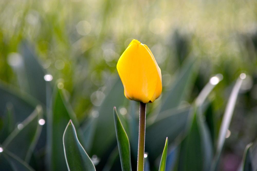 tulip determination cheri ruskus