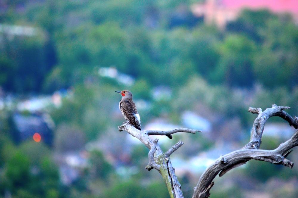 flagstaff bird cheri ruskus