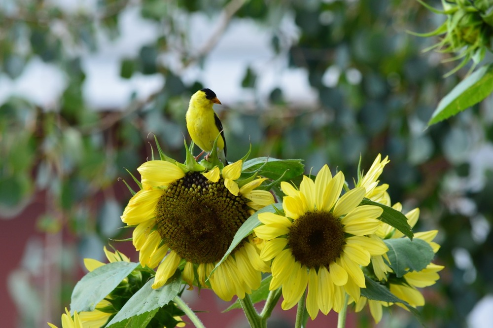 yellow finch victory circles