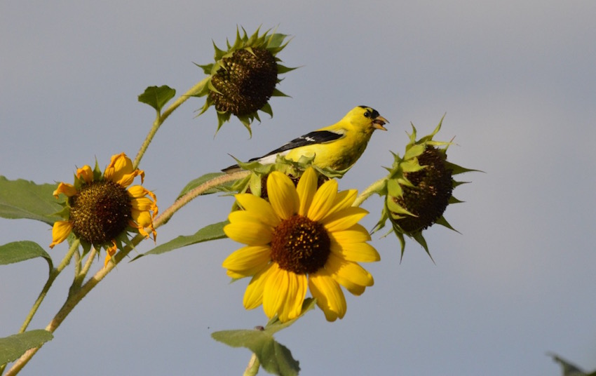 Sunflower Cheri Ruskus 7.JPG