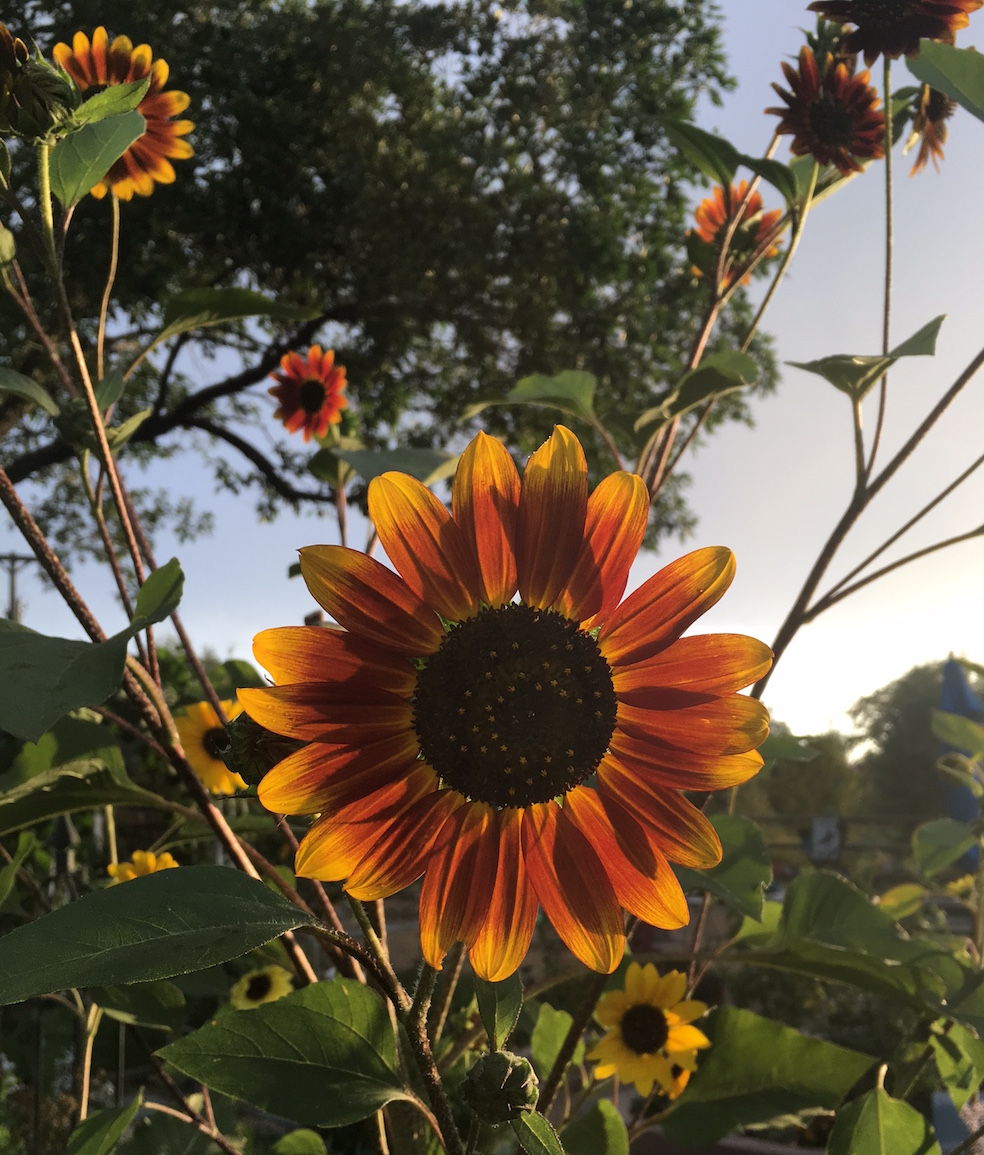 Sunflower Cheri Ruskus 4.JPG