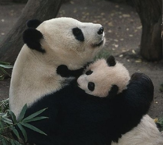 "Image for ""  Giant Pandas: Biology, Veterinary Medicine and Management "" via Pinterest"