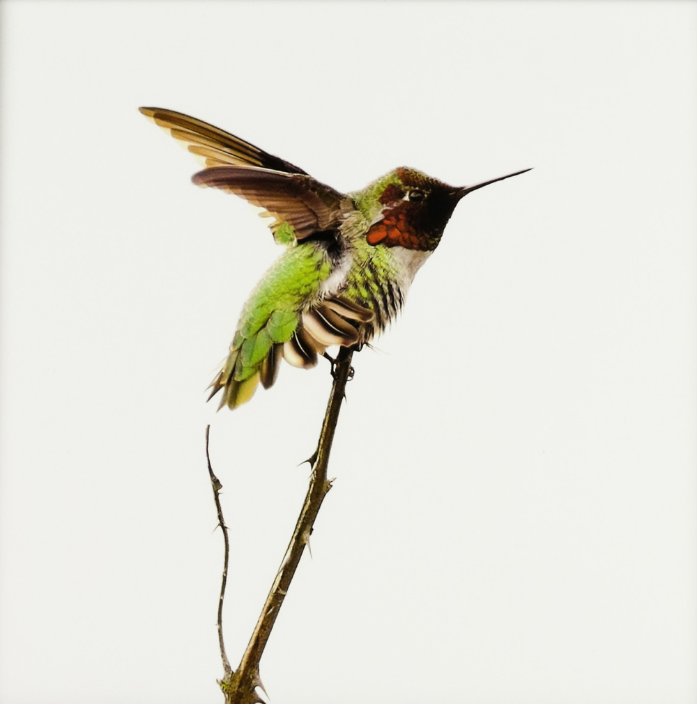 "John Miguel Esteban   Anna's Hummingbird (Calypte anna)- ""Readying for takeoff."" , 2011  Photograph"