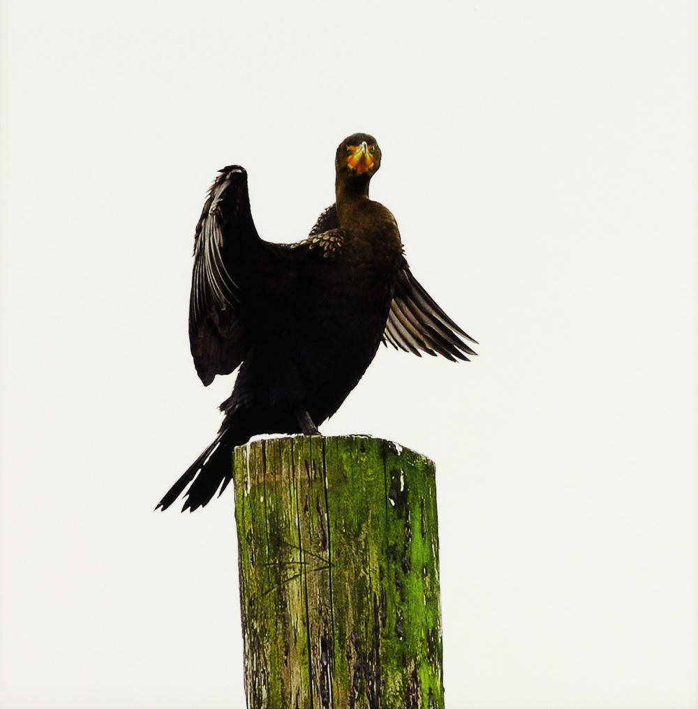 "John Miguel Esteban   Double Crested Cormorant (Phalacrocorax auritus): ""You looking at me?"" , 2011  Photograph"