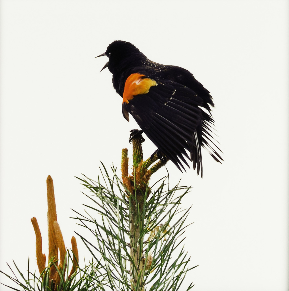 "John Miguel Esteban   Red Winged Blackbird (Agelaius phoeniceus): ""You were only waiting for this moment to be free, "" 2011  Photograph"