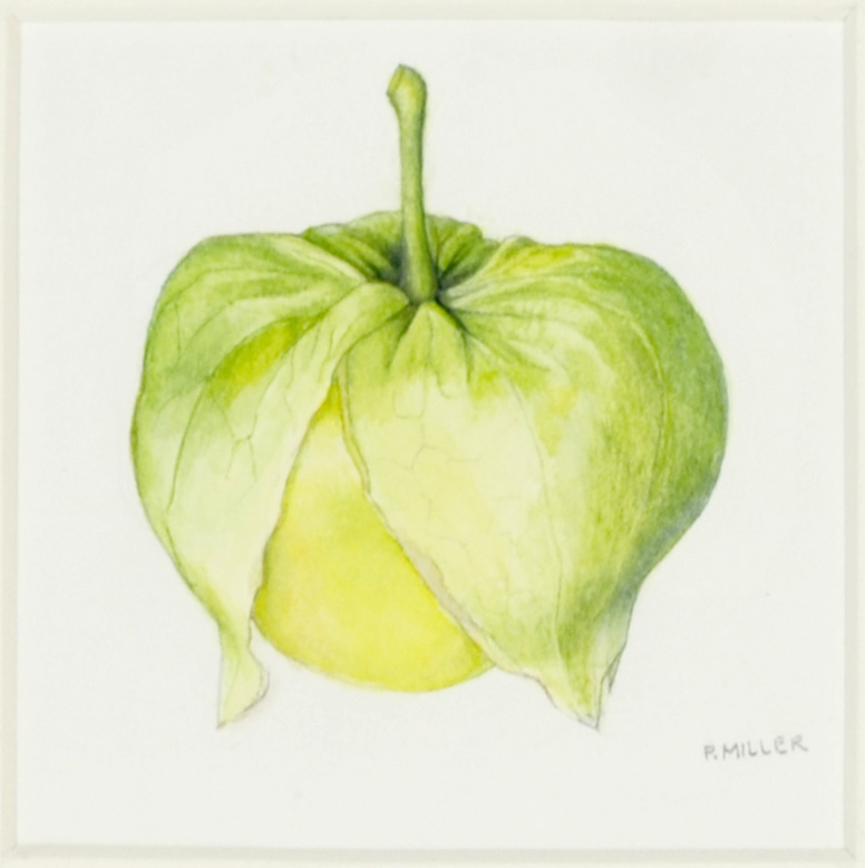 Peggy Miller     Tomatillo , 2012  Watercolor on paper
