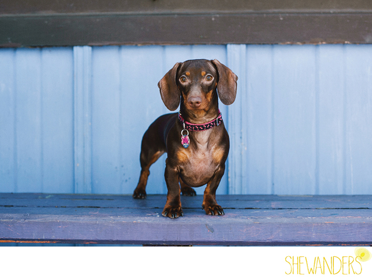 shewanders photography, dog, Dachshund, wiener dog, balboa park