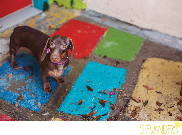 shewanders photography, dog, Dachshund, wiener dog, balboa park, colorful tile