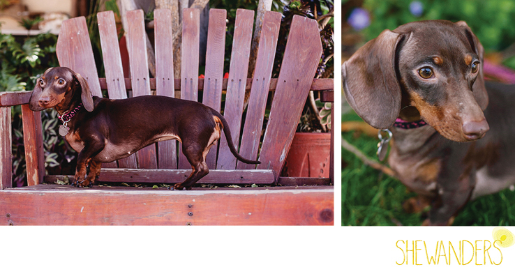 shewanders photography, dog, Dachshund, wiener dog, balboa park, park bench