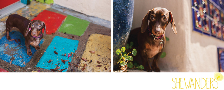 shewanders photography, dog, Dachshund, wiener dog, balboa park, colorful tiles