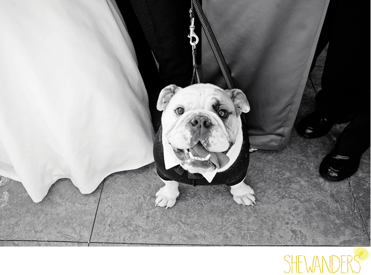 shewanders photography, wedding, dog, bulldog, black and white, pets