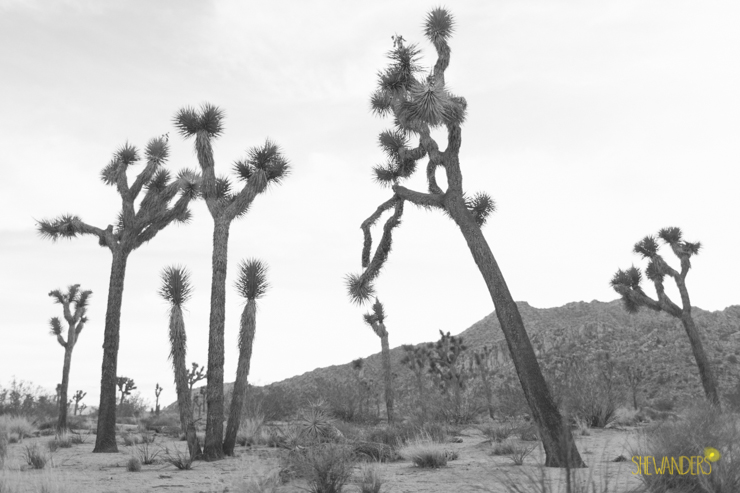 SheWanders Photography, joshua tree, black and white, landscape, bushes, natural, beautiful
