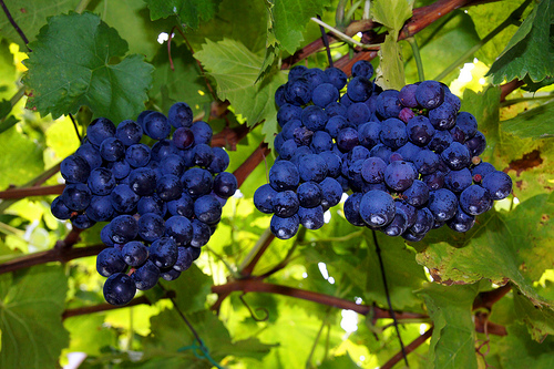 grape-vines.jpg