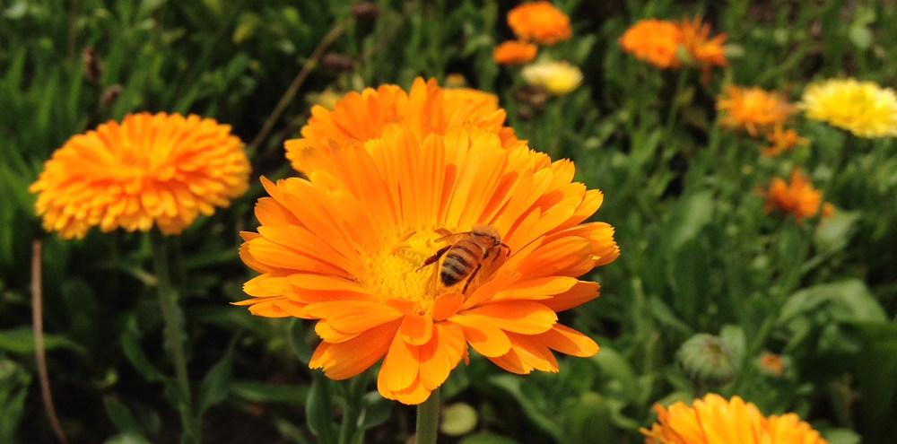 Calendula Bee