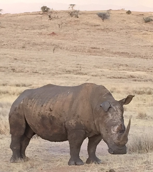 One of the white rhinos we spotted on our way back to the lodge. A rare and spectacular sighting.