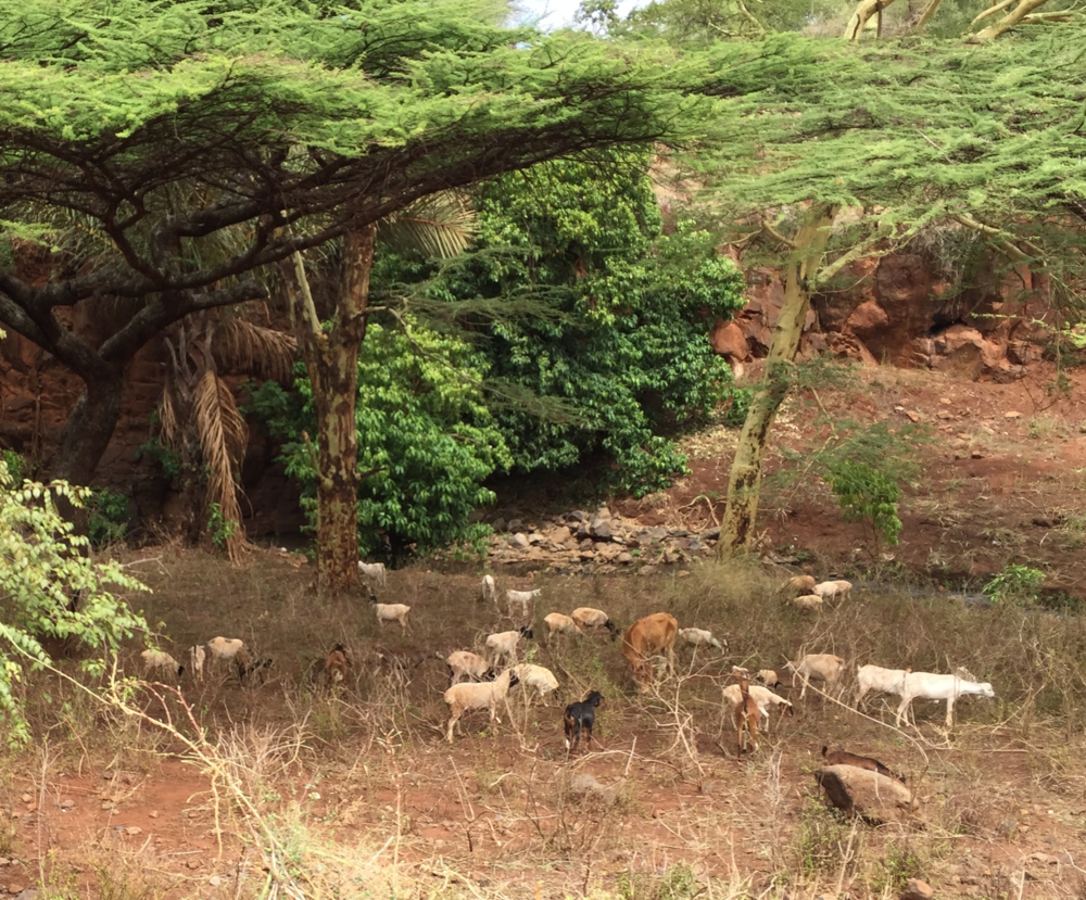Wildlife grazing as we make our way to the second outreach at Lewa.