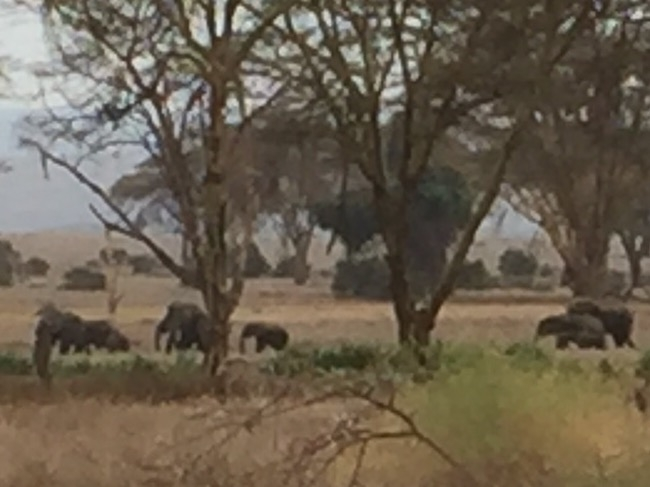 Herd of elephants walking by dining room