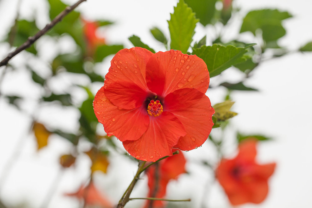 Hibiscus-web.jpg