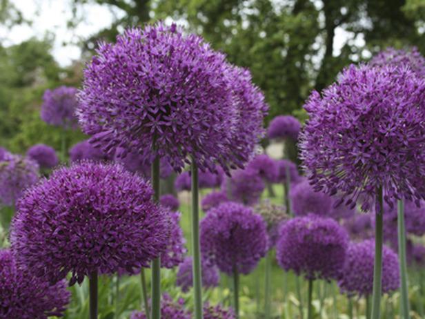 RX-DK-HTG03801_1-purple-allium_s4x3_lg.jpg