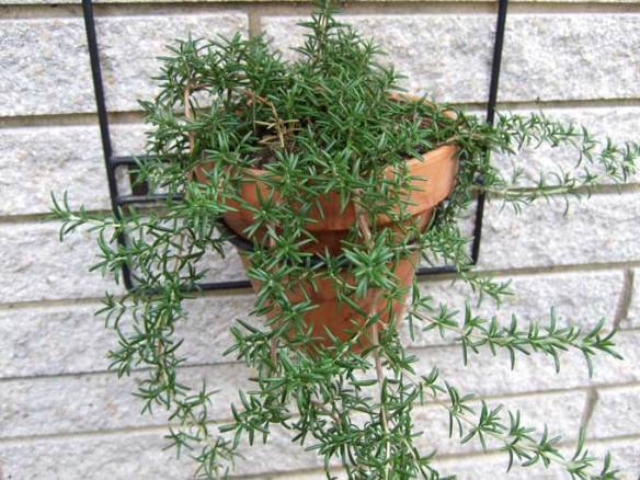 trailing-rosemary-plant.jpg