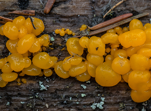 Orange Witches Butter is an early Spring fungus that grows on conifer wood.