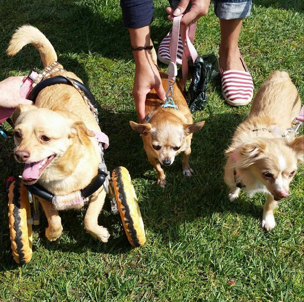 Daisy and Pixie were delighted to meet a new friend, little Ruby! Thank you to her mom DJ for saying hi to us and purchasing a Daisy tee. Photo courtesy of @whiskerscam