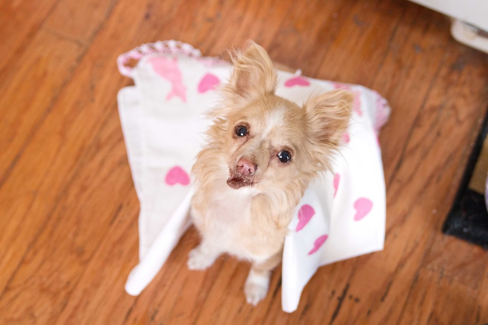 @toothfairypixie with a chihuahua print tea towel