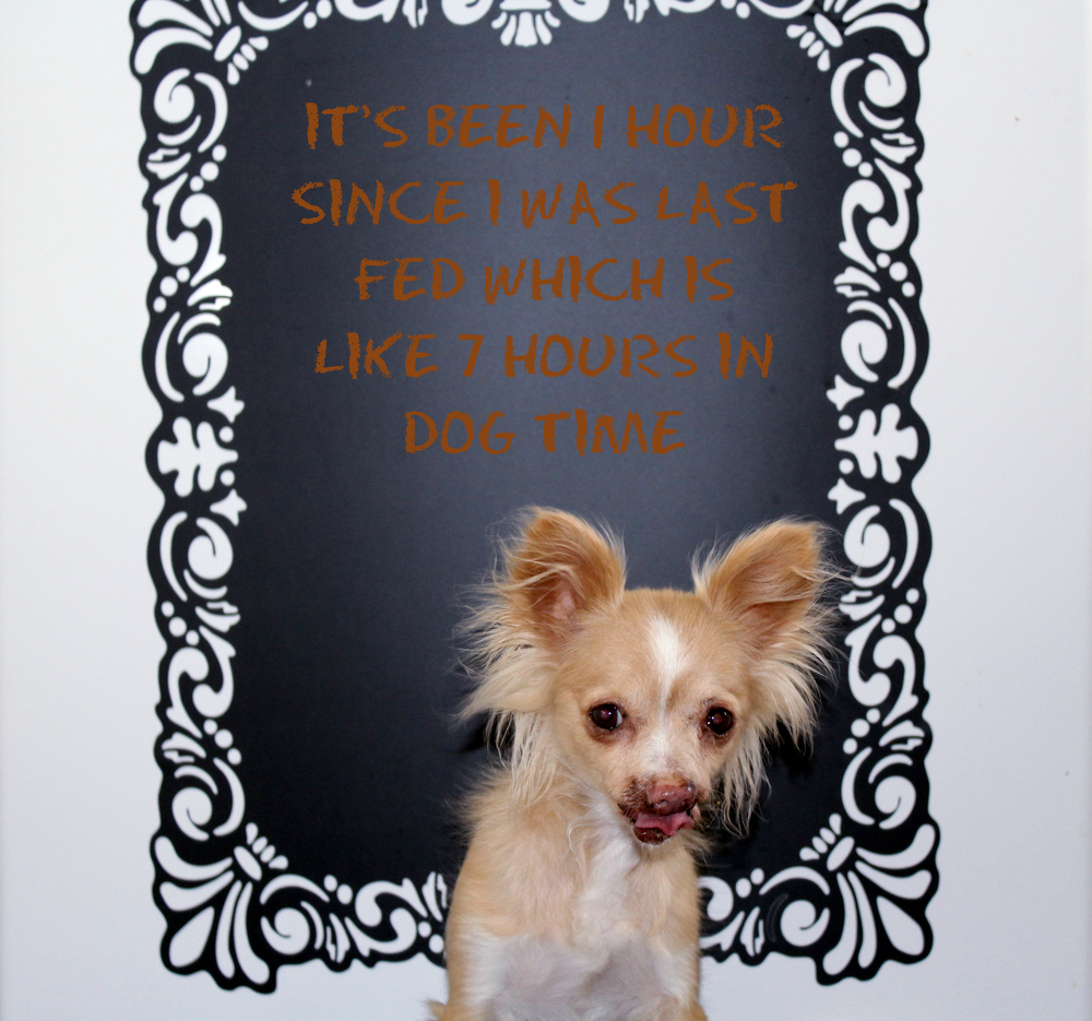 """Toothless dog posing with a quote """"I haven't been fed in about 1 hour which is like 7 hours in dog time"""""""