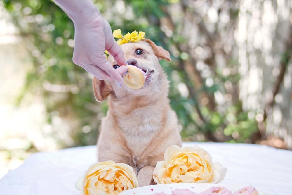 Daisy Underbite enjoying her birthday mini dog donut