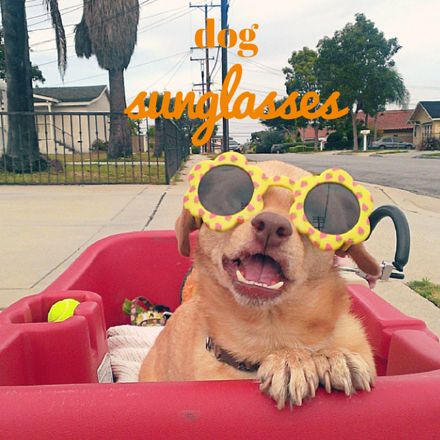 Daisy Underbite wearing dog sunglasses