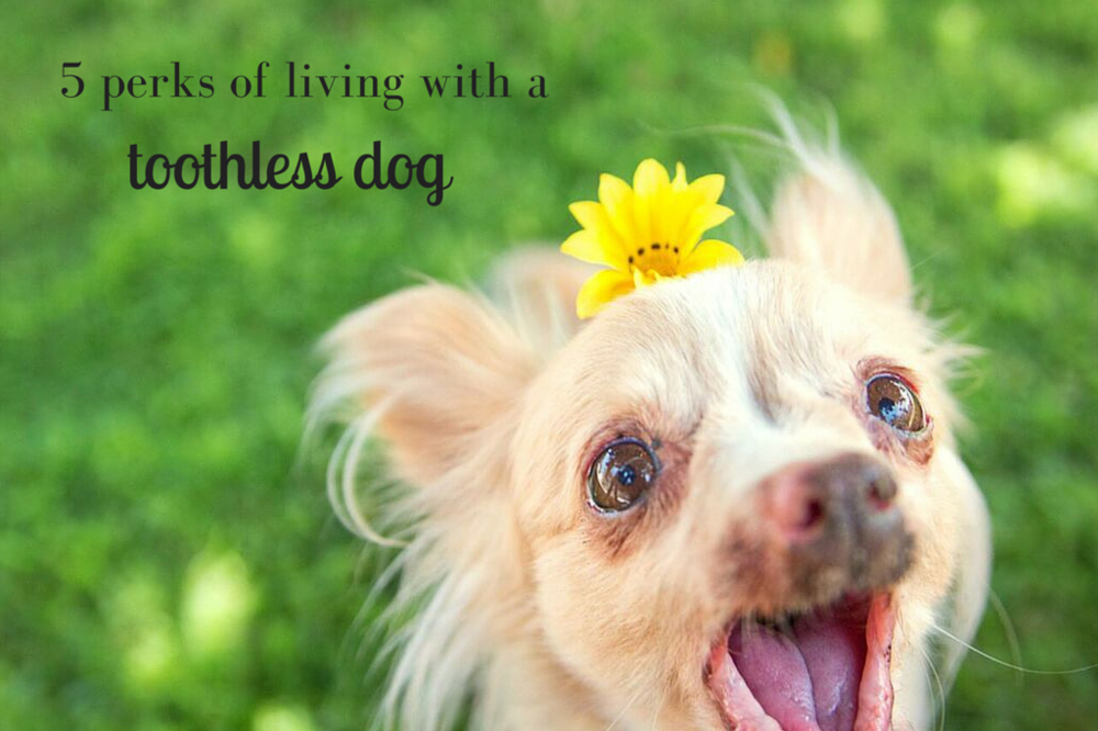 5 perks of living with a toothless dog like @toothfairypixie