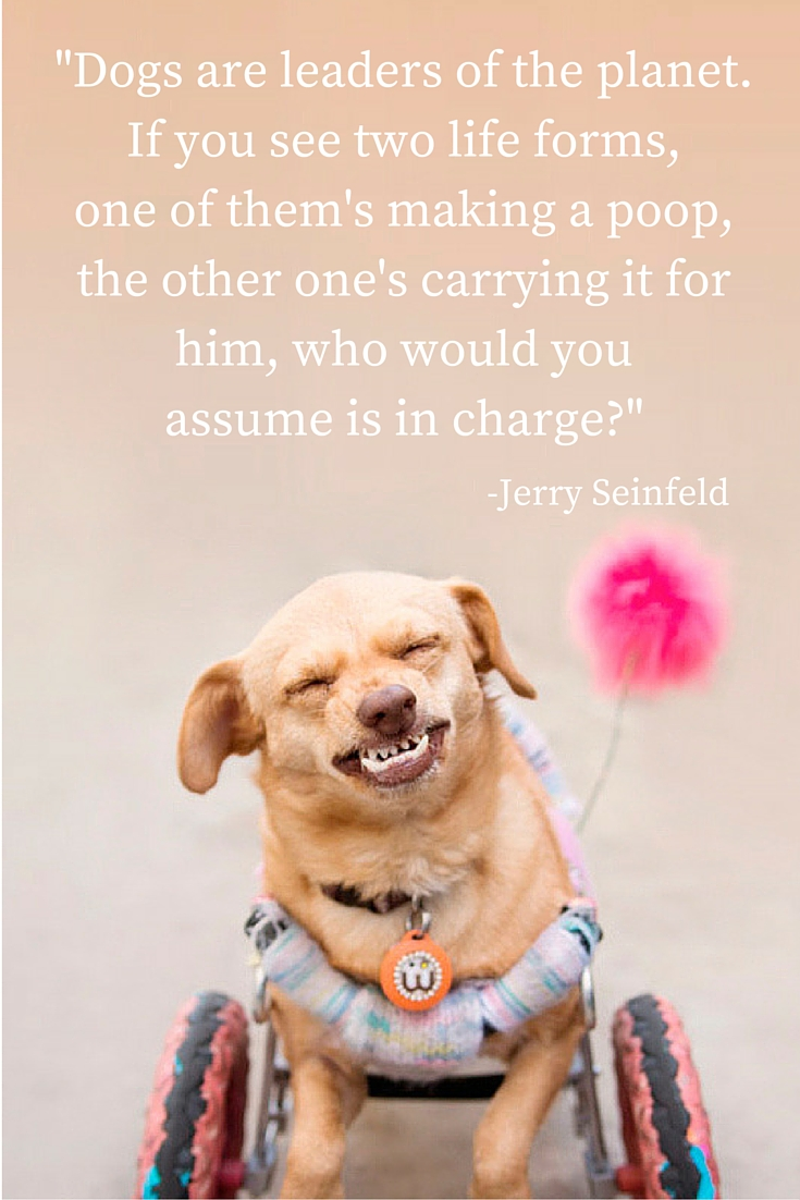 "Majestic Monday - Inspiration quotes about dogs brought to you by Daisy Underbite. ""Dogs are leaders of the planet. If you are two life forms, one of them's making poop, the other one's carrying it for him, who would you assume is in charge?"" - Jerry Seinfeld"