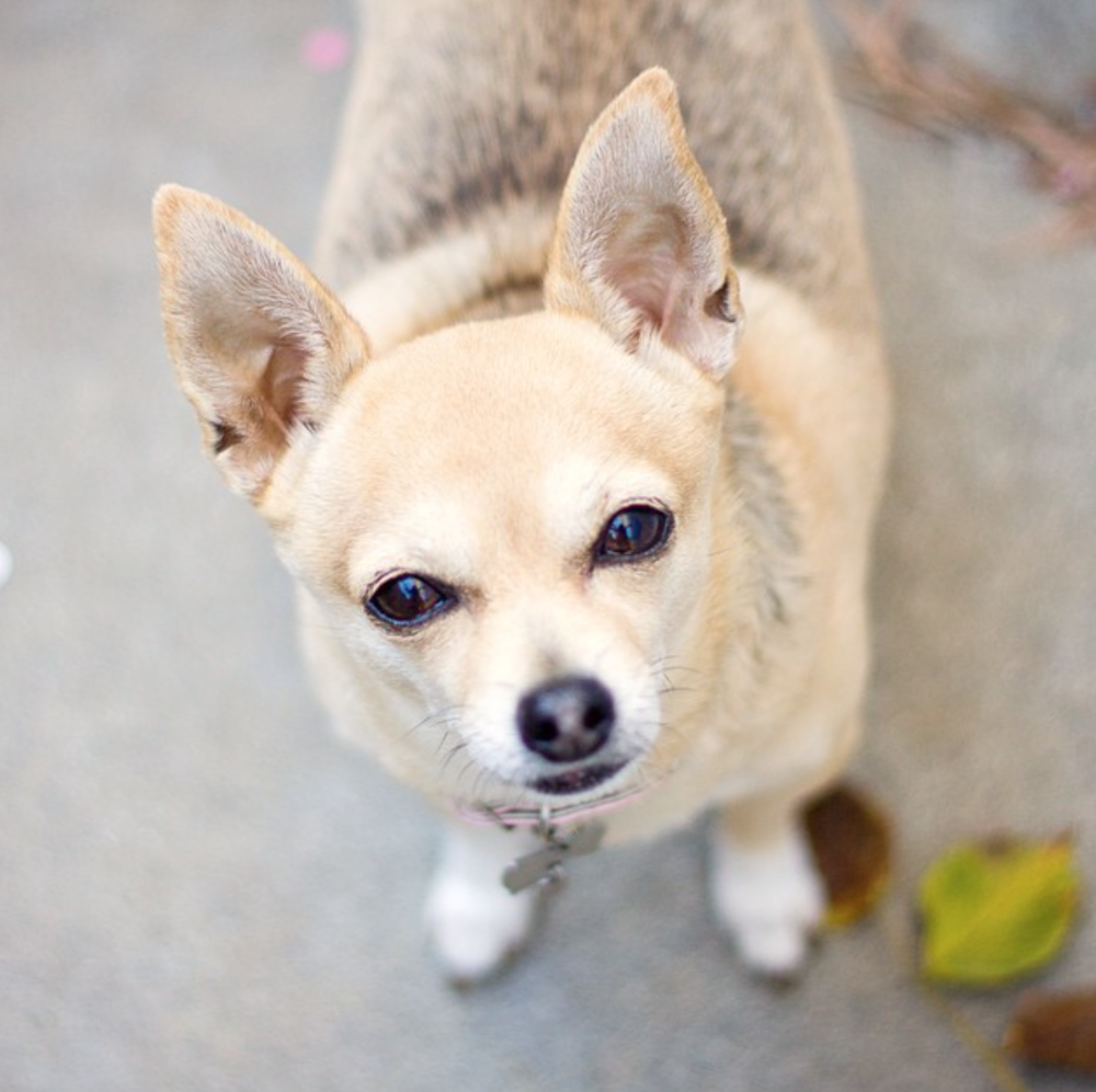 Adopt a shelter dog month - Chihuahua