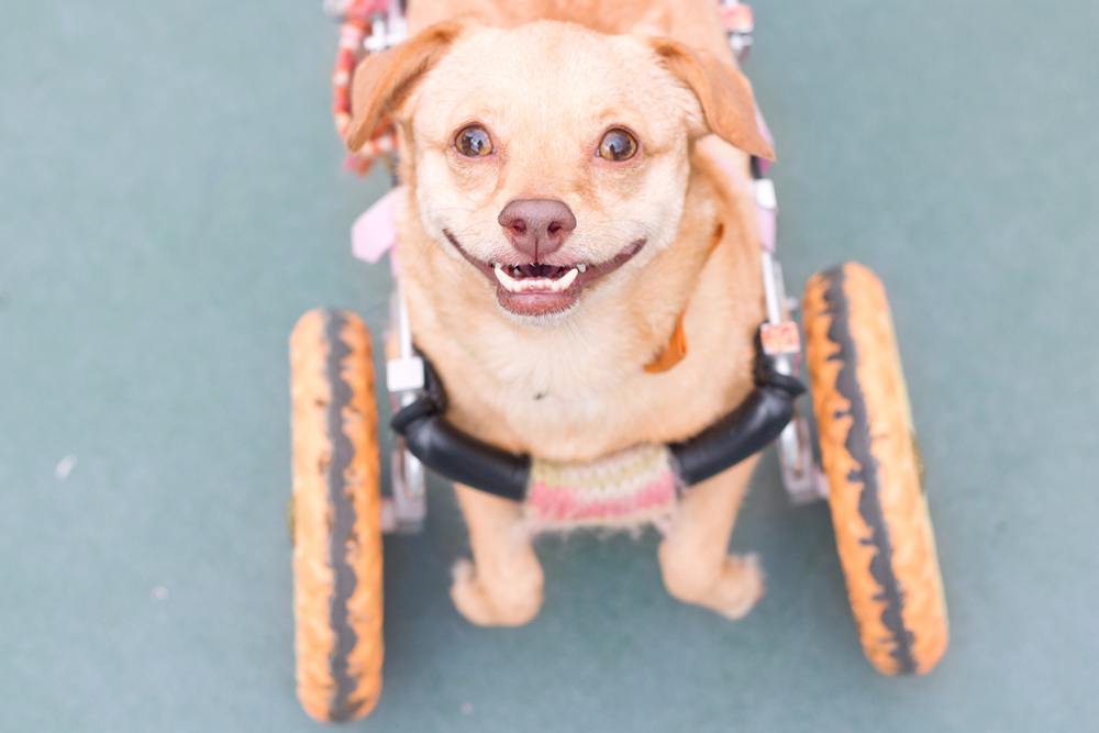 Adopt a shelter dog month - disabled dog