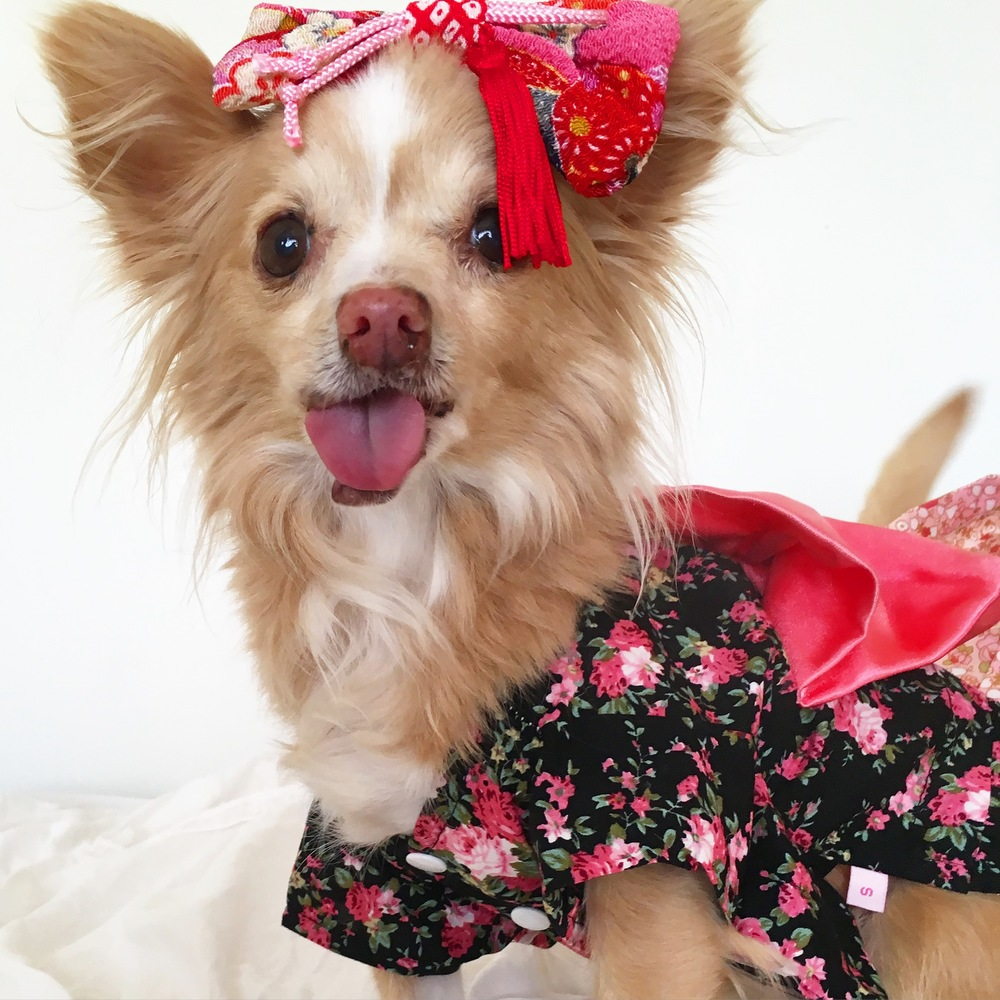 Toothless chihuahua @toothfairypixie