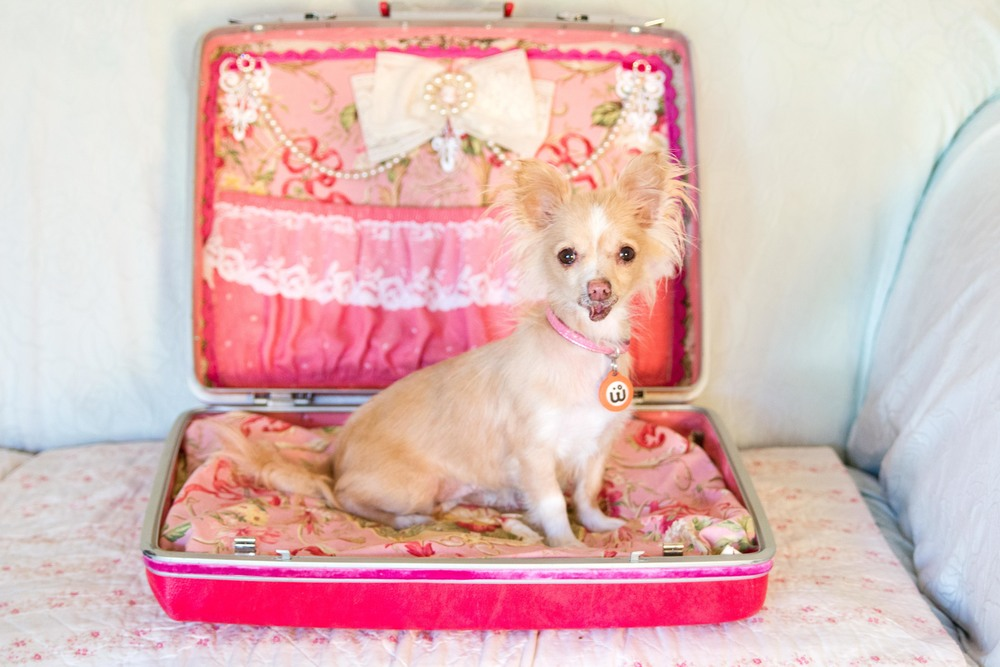 How much it costs per year to raise a chihuahua