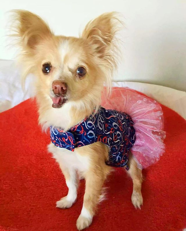 Happy Birthday America 🇺🇸 #4thofjuly #chihuahualove #アメリカ生活