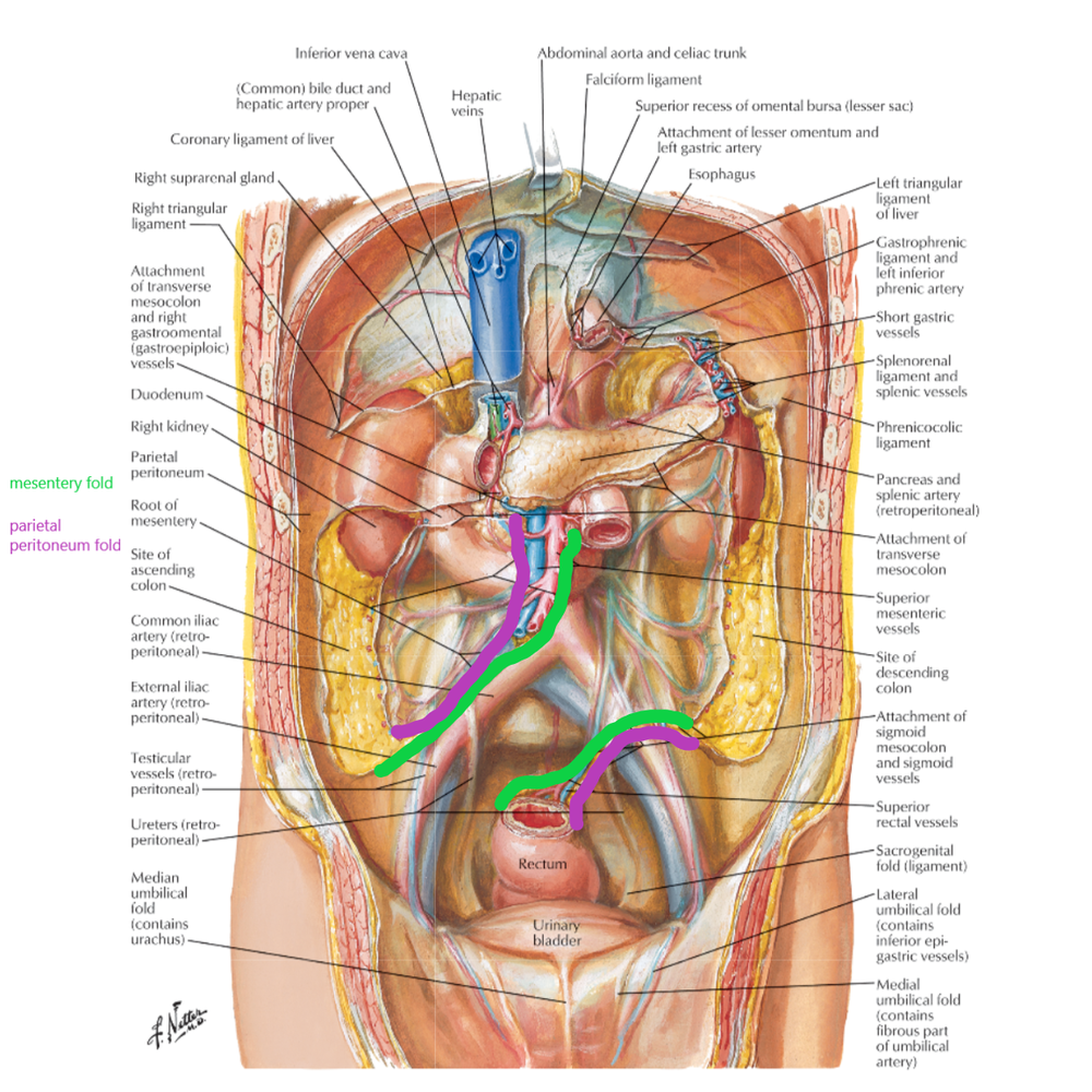 The mesenteric root is the joint fascial attachment points of the mesentery (the green) and the parietal peritoneum (the purple).