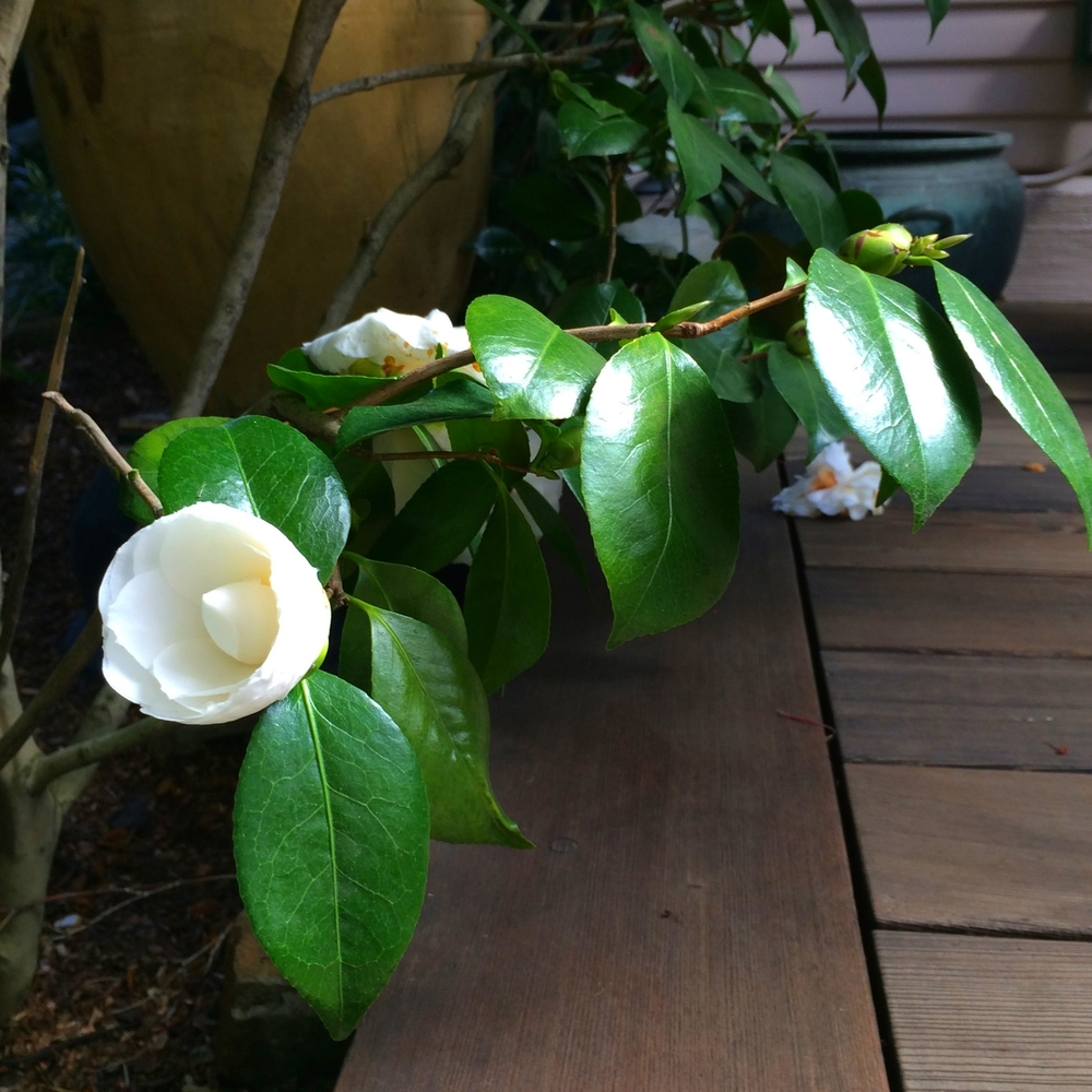 Camellia ready to open