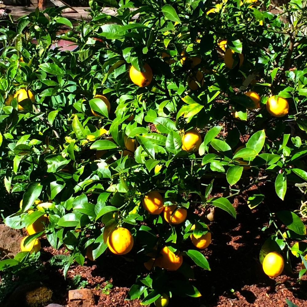 Lemons in springtime